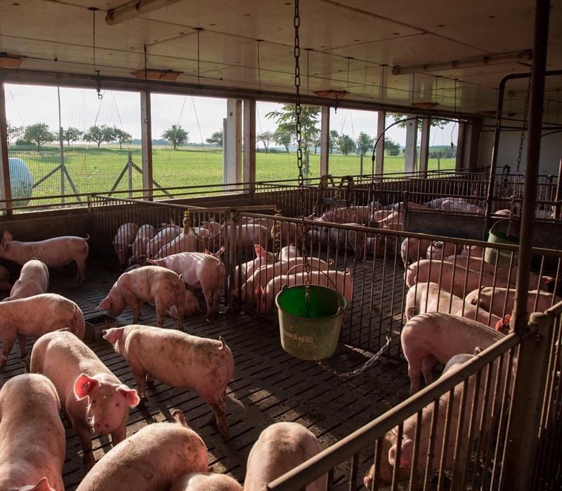 Neugierige Schweine sind gegen Abend immer anzutreffen im Stall Rainer, Andreas Mueller Rems-Murr-Schwein