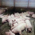 Völlig entspannte Mastschweine mit ca.100kg mit Arttypischem Liegeverhalten